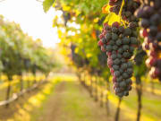 Generic_Wine_Vineyard_shutterstock_571565734