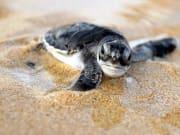 The Turtles of Kosgoda