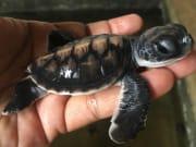Sri_Lanka_Kosgoda_Turtle_shutterstock_709960120