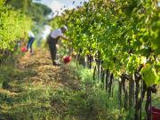 Italy_Tuscany_grape_wine_vinyard