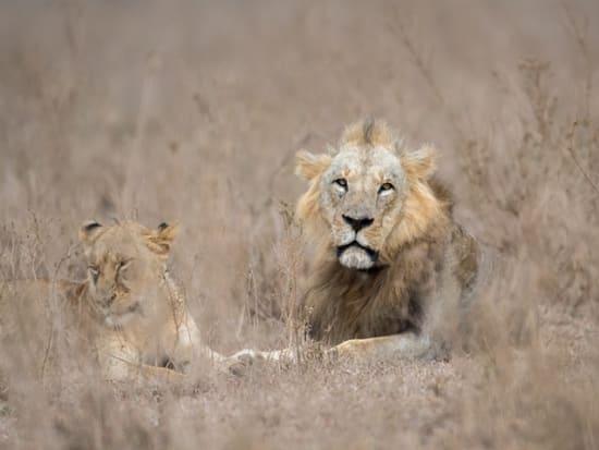 Kenya_Nairobi_National Park_Lion_shutterstock_746953804