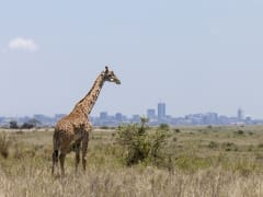 Kenya_Nairobi_National Park_Giraffe_shutterstock_300380582