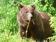 Grizzly_Bear_shutterstock_579984328