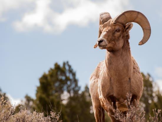Big_Horn_Sheep_shutterstock_279928460