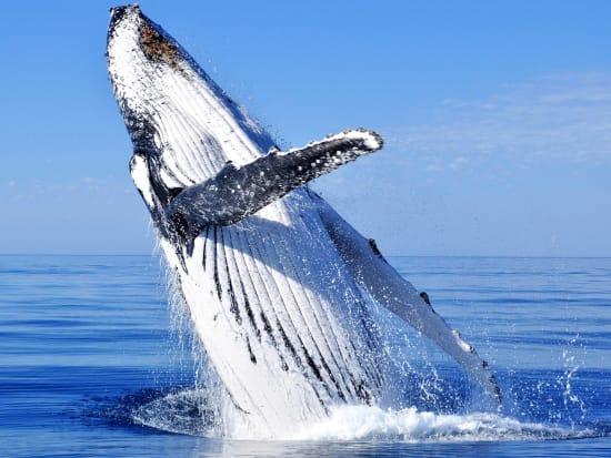 Hawaii_Maui_Maui Maritime_Whale Watching_93206437