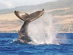 USA_Hawaii_Humpback-Whale_shutterstock_35381083