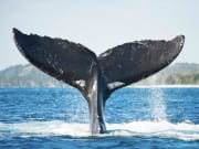 USA_Hawaii_Humpback-Whale_shutterstock_340809728