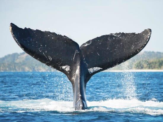 USA_Hawaii_Humpback-Whale_shutterstock_340809728