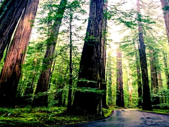 Muir Woods National Monument_18