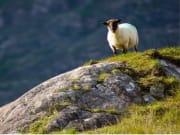 sheep, kerry