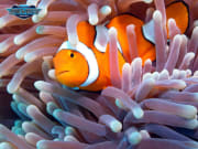 Great Barrier Reef sea anemone orange clown fish