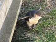 Phillip Island The Nobbies baby penguin