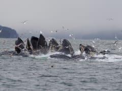 Humpback_Whales