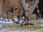 USA_Phoenix_South_Rim_Deer