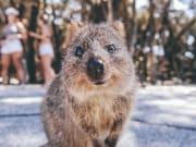Australia_Perth_Rottnest_Island_Quokka_shutterstock_702589243