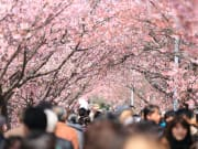 Rows of cherry blossoms in full bloom
