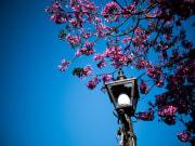 Cherry blossoms at Disneyland Tokyo