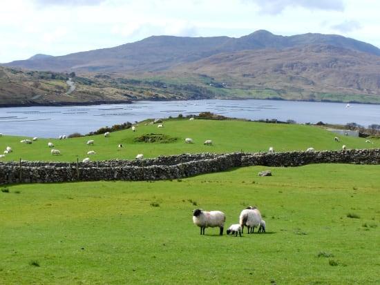 Connemara Country Sheep killary