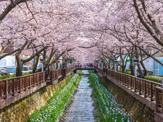 2020 Jinhae Cherry Blossom Tour From Seoul March 27 To April 6 Tours Activities Fun Things To Do In Seoul Korea Veltra