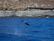 spinner dolphins-1