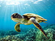 swims-with-fish-hawaiian-green-sea-turtle