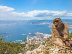 Gibraltar Macaque_shutterstock_448481842