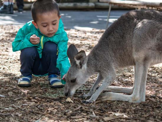 featherdale-kangaroo