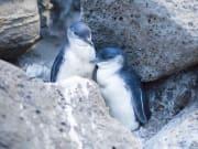 DOA Penguin St Kilda