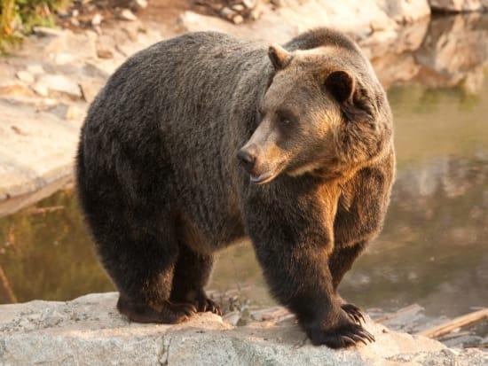 Grouse_Mountain_Bear