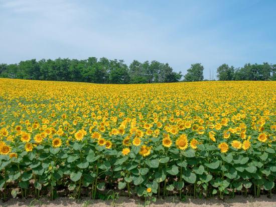 Hokkaido_Hokuryu_Sunflower_Field_shutterstock_702912250 (1)
