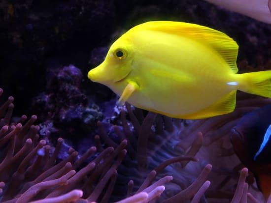 San Francisco_Aquarium of the Bay_Yellow Fish