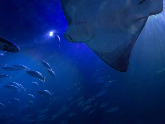 San Francisco_Aquarium of the Bay_Manta ray fishes