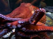 San Francisco_Aquarium of the Bay_Octopus