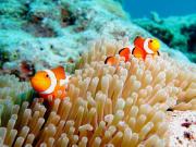 Japan_Okinawa_Clown fish_anemone_shutterstock_555118603
