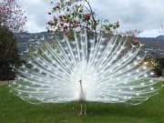 Italy, Isola Bella, Garden, Peacock