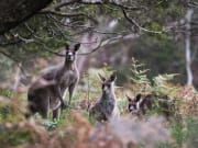 Blue Mountains, Kangaroos in the wild