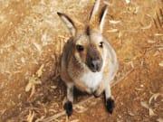 Generic_Kangaroo_Wallaby_shutterstock_537738424