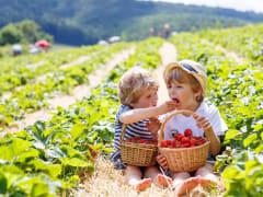Mornington Peninsula Strawberry Picking