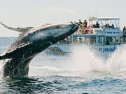 Photo_-_Whales_in_Paradise_Breaching_resized
