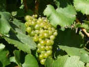 Grapes-at-Harvest-Time