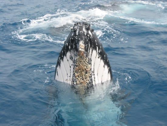 humpback_spyhop
