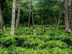 Araksa Tea Plantation tour