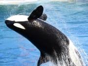USA_Vancouver_Killer-Whale_123RF_13416184_ML