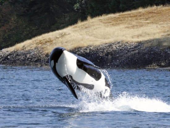USA_Vancouver_Killer-Whale_123RF_37427491_ML