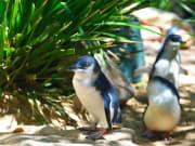 melbourne phillip island penguin parade