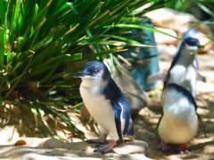 Australia_Melbourne_Phillip_Island_Blue_Penguins_shutterstock_402215596_rsz