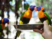 colorful lorikeets wildlife habitat