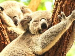 Koalas_sleeping_0525