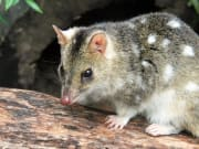Spot-tailed quoll_0604