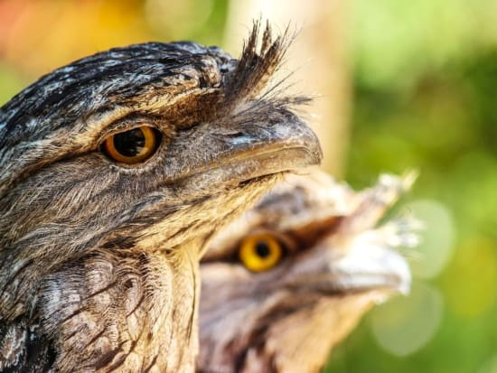 Tawny frogmouths_0604